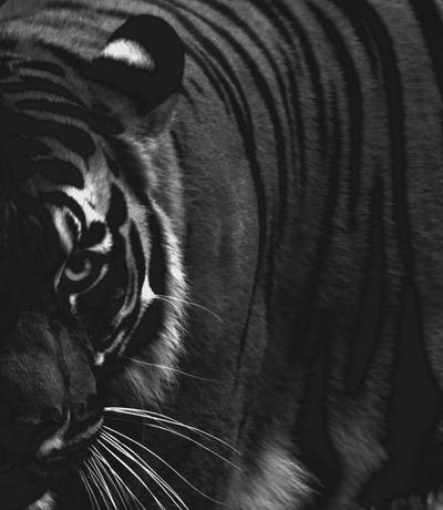 Tiger Eye BW by CourtneyWalsh