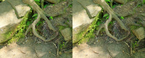 Stereograph - Root