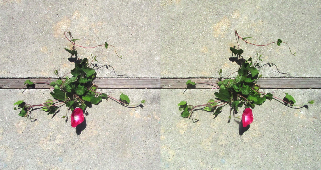 Stereograph - Morning Glory by alanbecker