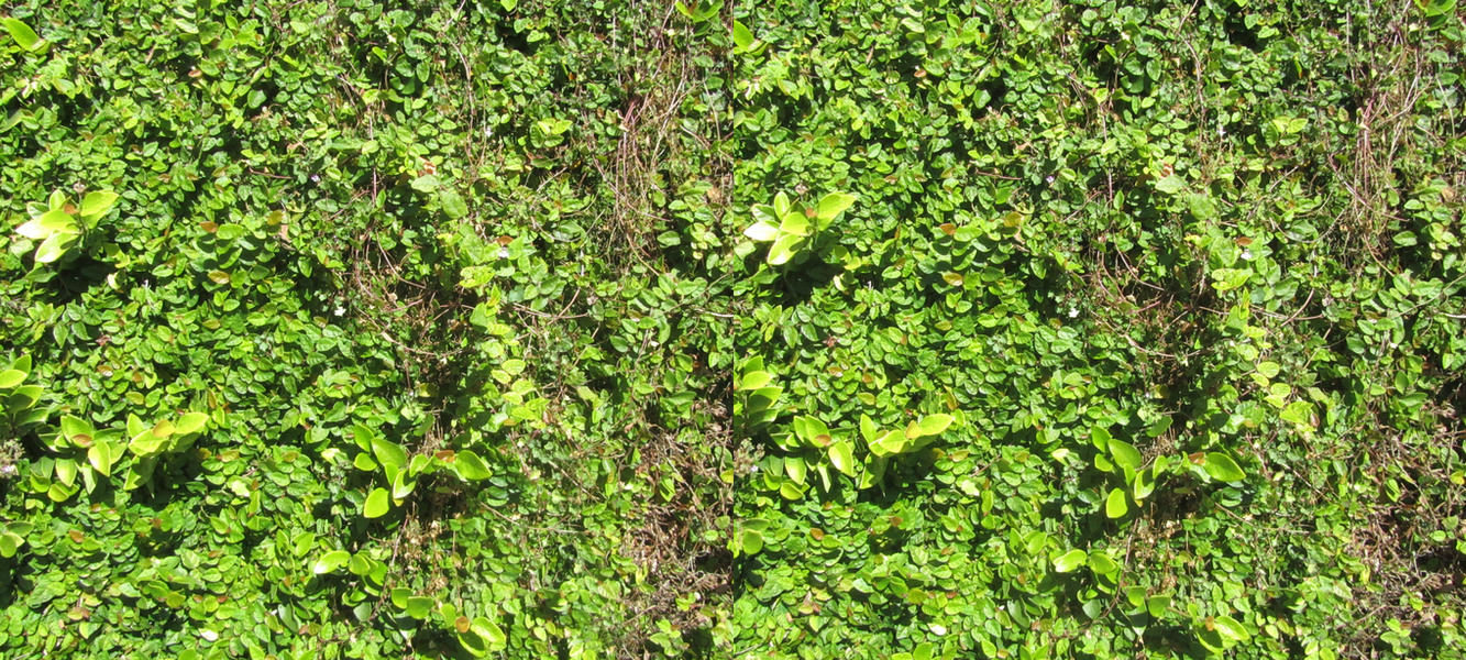 Stereograph - Hedge Leaves by alanbecker