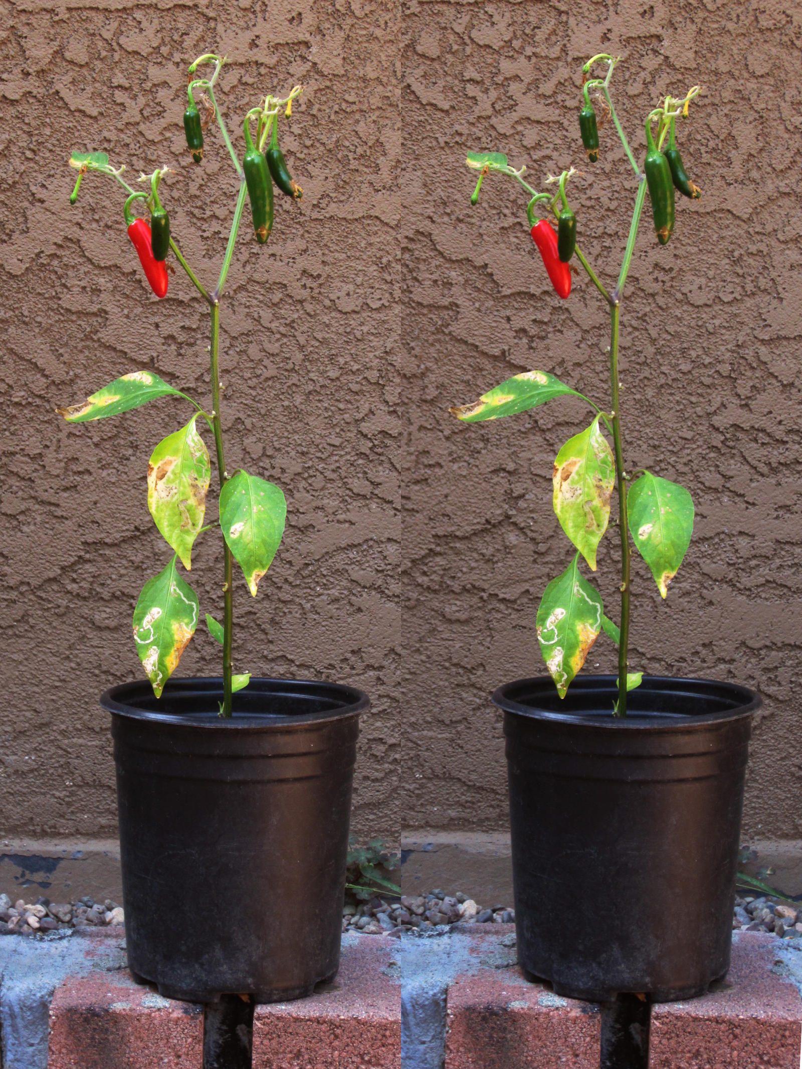 Stereograph - Chili Pepper by alanbecker