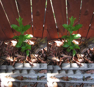 Stereograph - Short Plant
