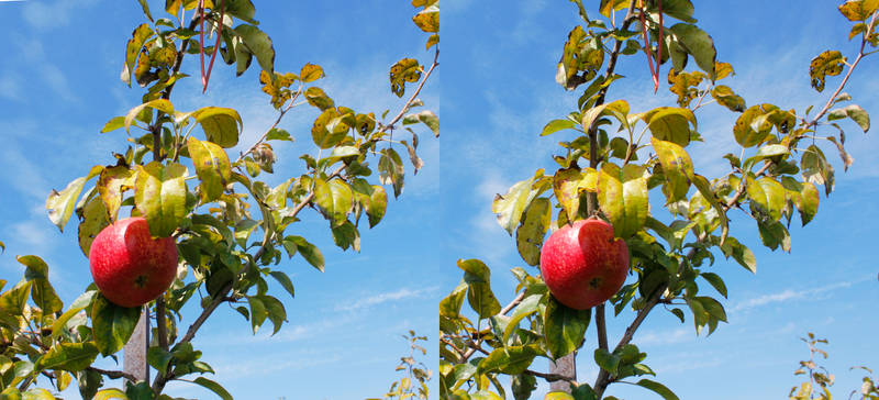 Stereograph - Apple on a Tree