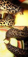 My Leopard Slugs by Scutigera