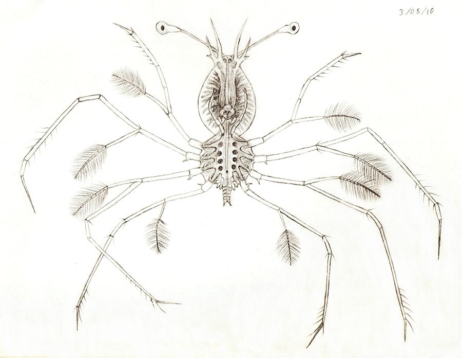 Lobster phyllosoma by Scutigera on DeviantArt
