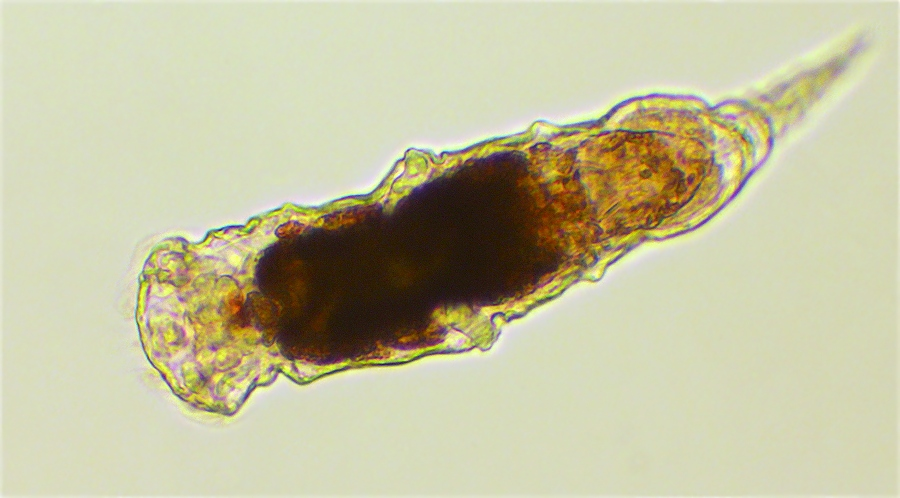 Rotifer microscopy by Scutigera on DeviantArt