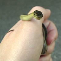 Curious Garter Snake by Scutigera