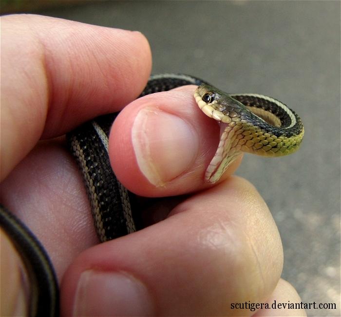 Northwest Nature Notes: GARTER SNAKES   Garter Snake Teeth