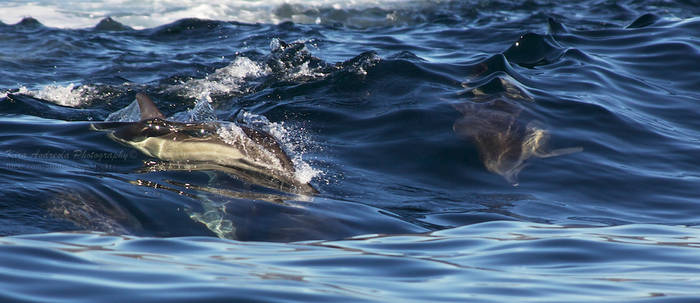 Common Dolphins surfing II