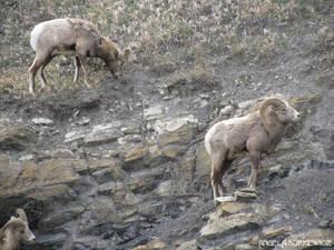 Big Horned Sheep 2