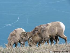 Big Horned Sheep 3