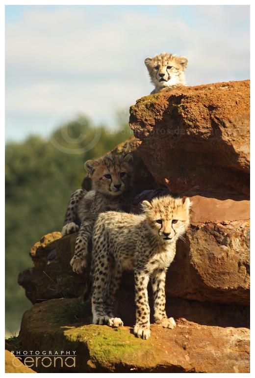 Big Pile o'Cheetahs by ceronaPhotos
