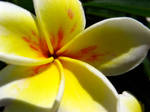 Yellow and white flower
