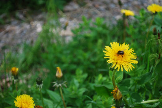 The Dandelion and the Bee