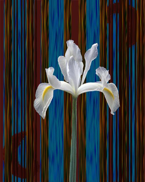 Iris by oceanstarr