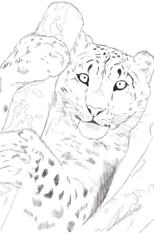 best Leopardo De Las Nieves Dibujo image collection