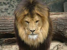 Lion by Astolante