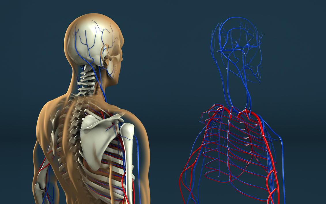 human anatomy by stefan1502 on deviantart