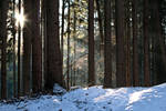 Forest in Winter 2009