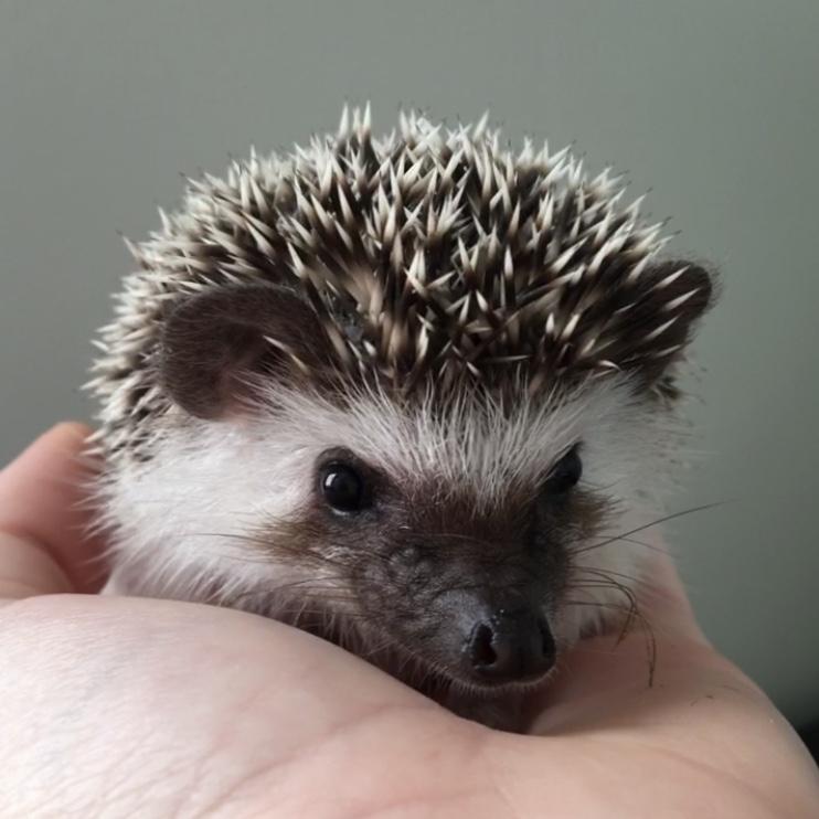 Baby Hedgehog by blueoceaneyes101