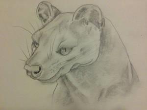 Fossa from Madagascar sketch