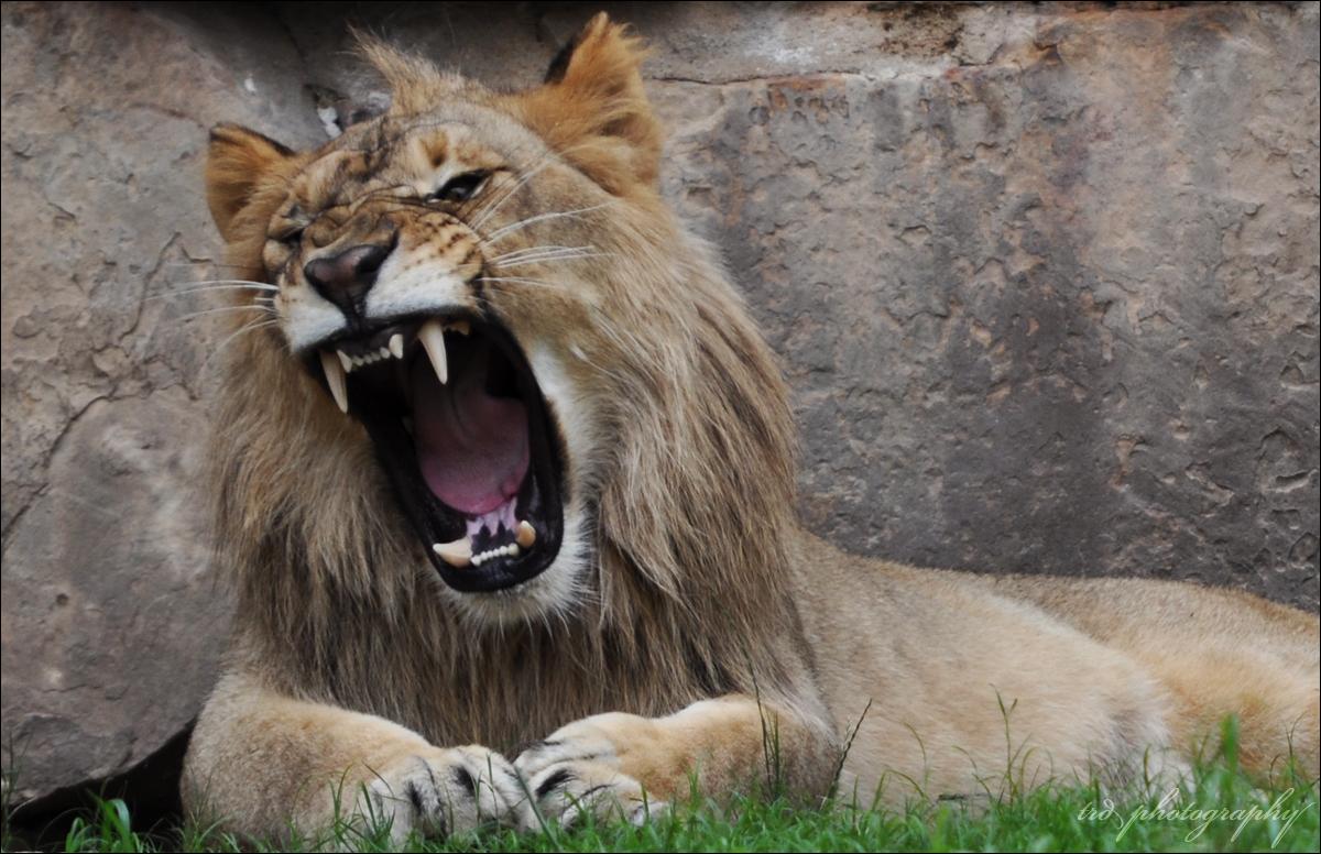 Lion's Roar by BlueSuit on DeviantArt - photo#18