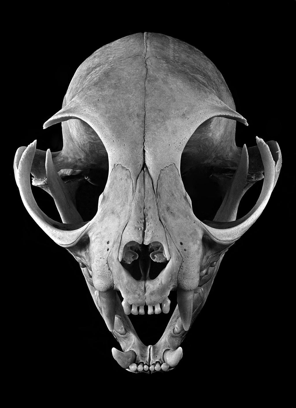 Feline Skull by Lymanjames on DeviantArt