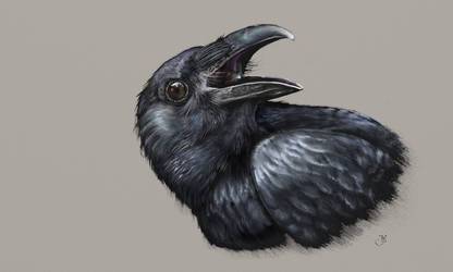 Raven study by Maxiator