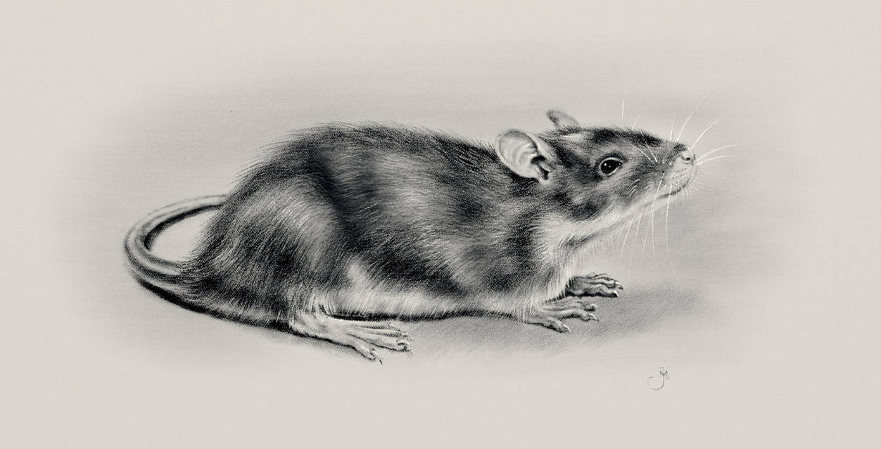 The Rat named Shy by Maxiator