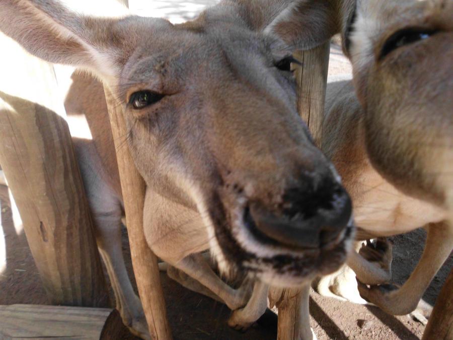 kangaroo jack by wonkywerewolf on deviantart