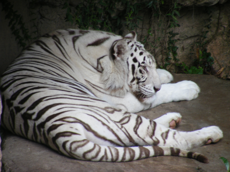 Whiter Tiger I by sweet-choia