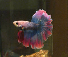 Patrasche the Betta by sweet-choia