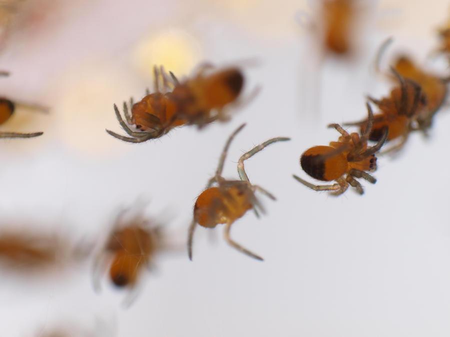 Garden spider babies by Alfvag
