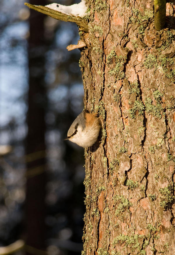 Nuthatch by Alfvag