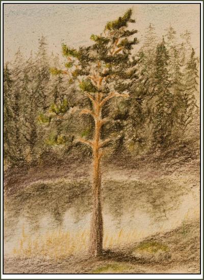 Pine sketch by Alfvag