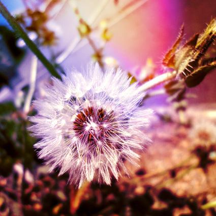 Dandelion by FAD-DOLLS