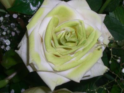 rosa branca by Alyzee