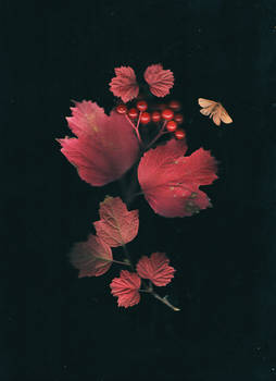Autumn blush on the viburnum leaves