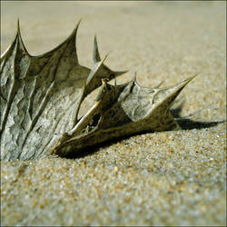 beach leaf -