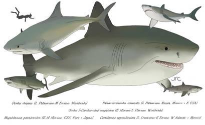 Whale hunters - Otodontid sharks
