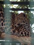 Amur Leopard by artbyjrc