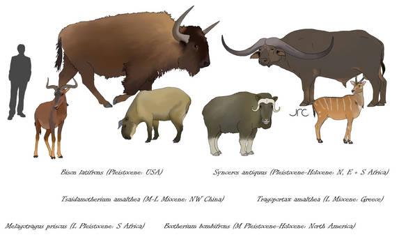 Horns + stomachs - Bovids 1