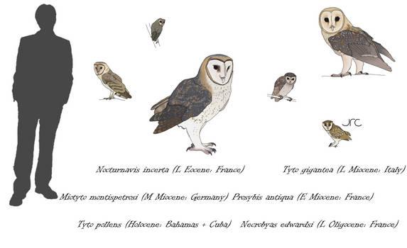 Birds of Doom 1 - Tytonid owls