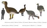 Demon ducks - Dromornithids