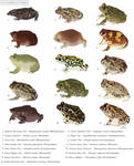 Digging deep - Burrowing frogs + toads