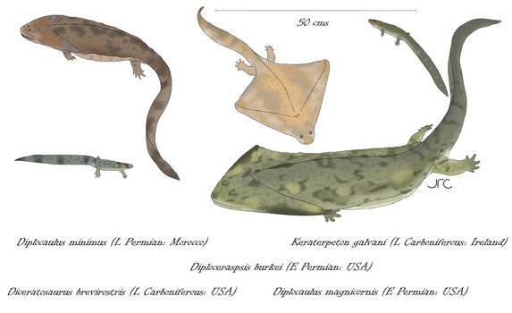 Boomerang heads - Diplocaulids