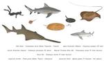 Sink or swim? - Freshwater elasmobranchs