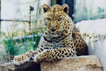 Leopard by artbyjrc