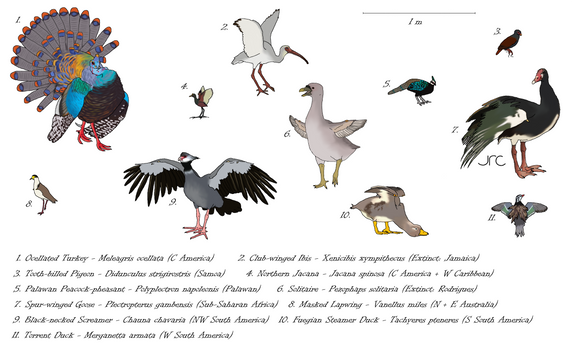 Armed avians - Birds with spurs/clubs