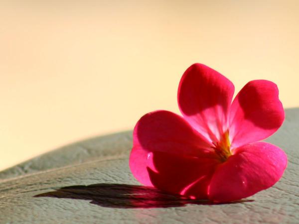 Pink_Flower_by_HelloNurse.jpg